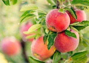 木になった林檎の実